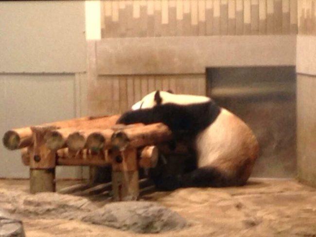 上野動物公園ジャイアントパンダ